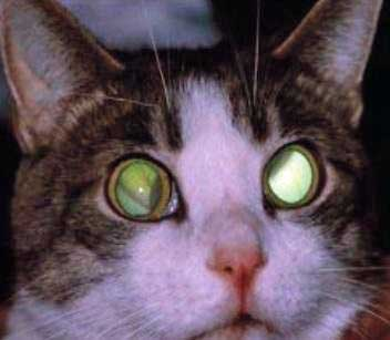 Cat with retinal damage due to hypertension