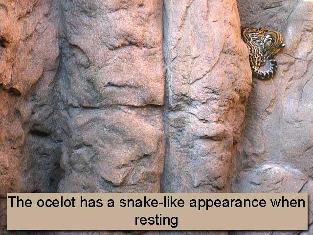 Ocelot Resting