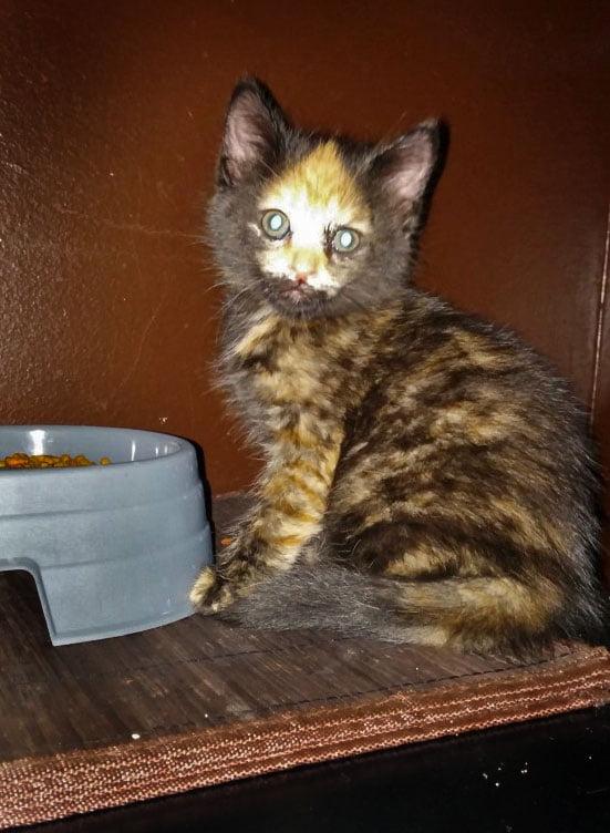 World's most extraordinary torbie cat Torbie Cat