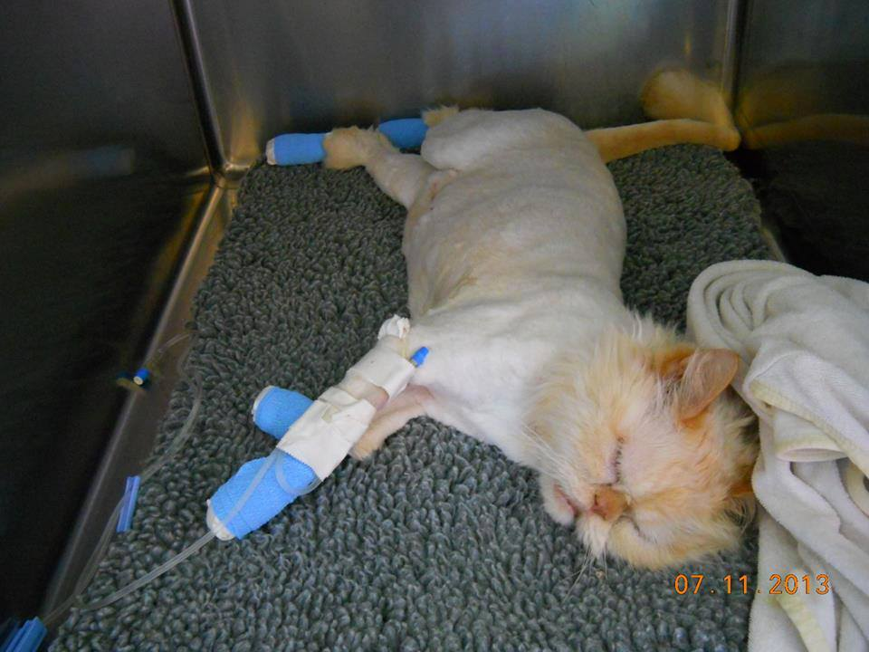 Declawing Cats Humane Paw Declawed Cat Has Had