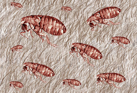 how to get rid of fleas in carpet and furniture