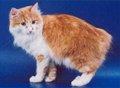 karelian-bobtail-cat-thumb
