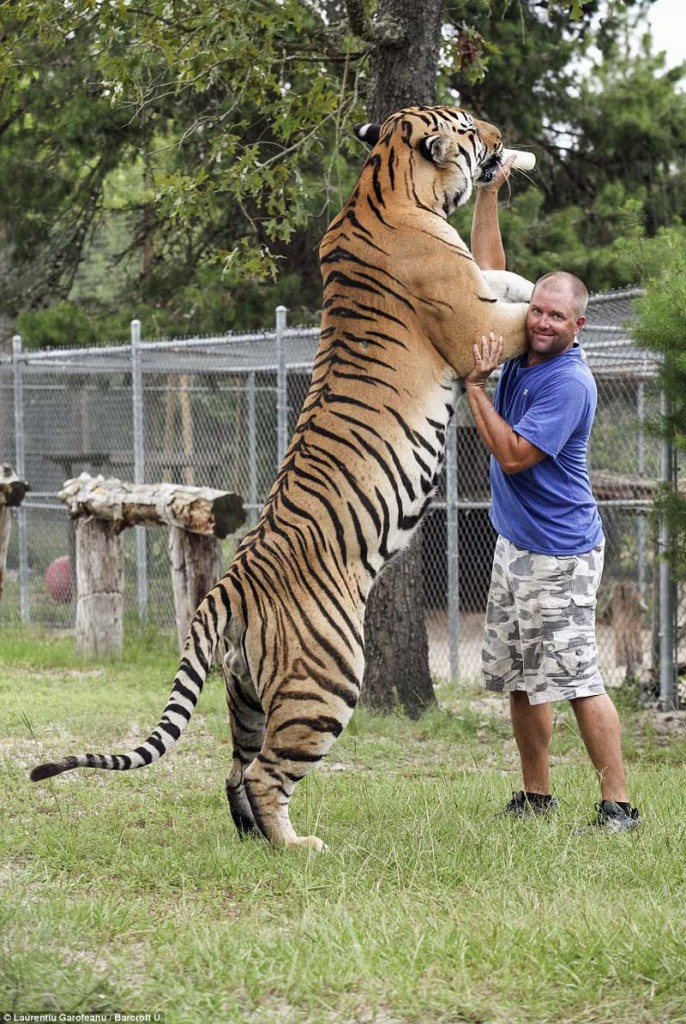 Very large Siberian tiger
