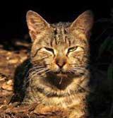 feral-cat-australia-thumb