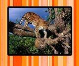 leopard-thumb