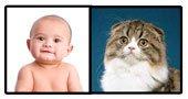 Baby versus Scottish Fold