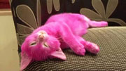 cat-dyed-pink-for-a-party-x