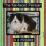 Flat-faced Persian