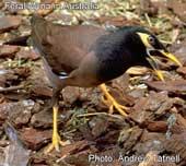 Feral Mynah bird Australia