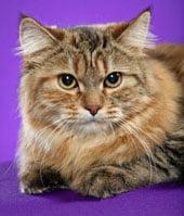 torbie-siberian-cat-thumb