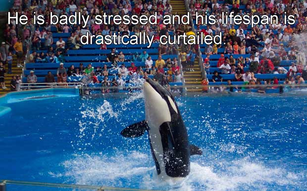 whales in captivity essay Free essay: the diet the killer whales are forced to live with, i believe has the biggest effect on the whales' shortened life spans killer whales have an.