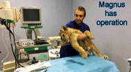 Lion cub has operation