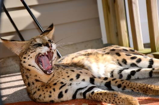 unusual escaped savannah cat in onslow county nc is a