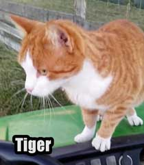 Tiger a ginger cat