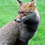 Urban fox I cured of mange