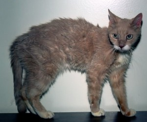 Thin hyperthyroid cat