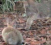 Feeding live rabbits to bobcats at BCR