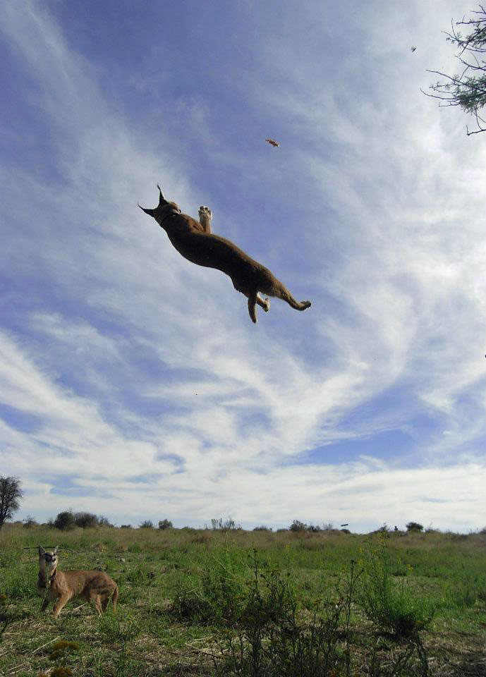 How High Can Caracals Jump