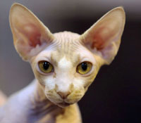 Don Sphynx seized by Bailffs in Russia