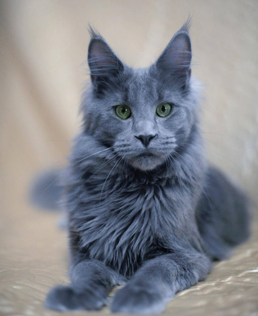 Maine coon kitten blue smoke white
