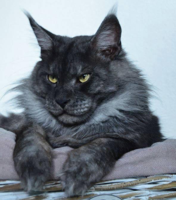 Dark Grey Maine Coon Kittens Ten of the best Maine ...