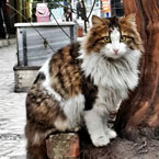 Real Turkish Angora street cat