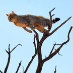 Wildcat leap from tree