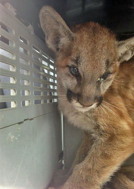 Mountain Lion Cub Survives California Wildfire