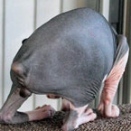 New hairless bobtailed cat breed