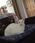 Oriental SH cat
