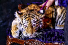 Drugged Siberian tiger cub s