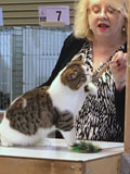 Cat show judge and oriental SH