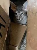 Oriental SH kitten