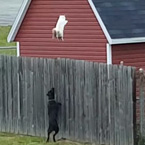 Cat escapes dog