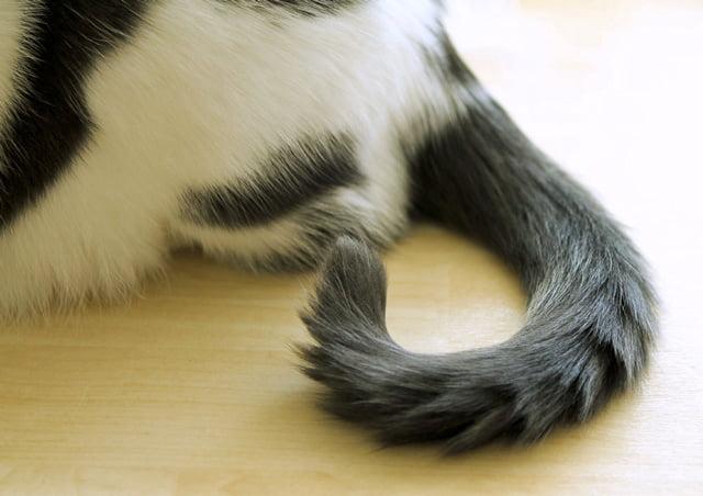 Cat Tail Swishing Gif