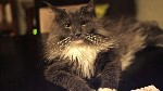 Maine coon cat in india. One of Mr Cratree's cats
