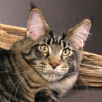 Tabby Maine Coon pictures