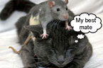 Rat and Cat Friends