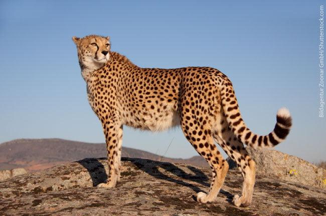 Cheetah adaptations - photo#12