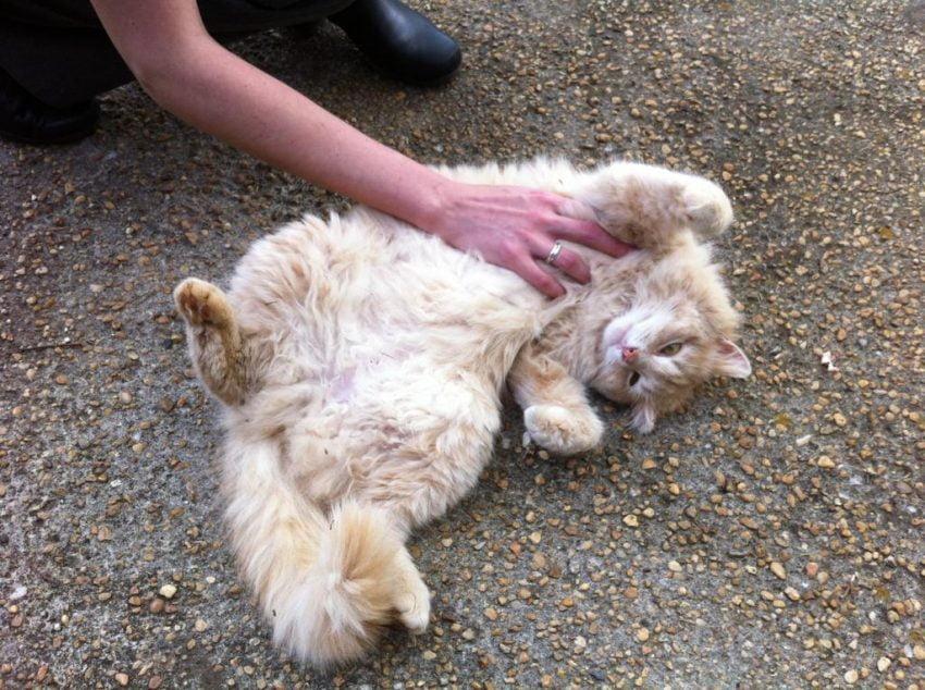 Why Do Some Cats Like Tummy Rubs