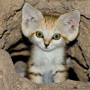 Sand Kitten showing the very large ears