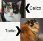 Tortoiseshell and calico cats