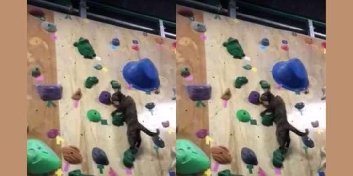 Cat climbing up a climbing wall