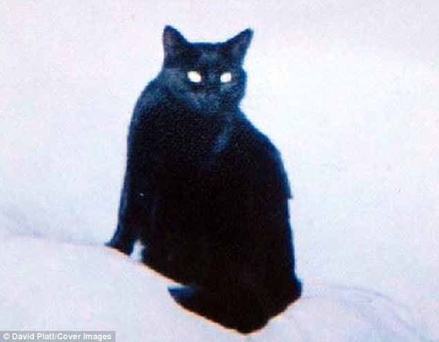 Scrappy, the cat with vitiligo