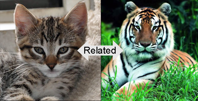 Domestic cat is related to the tiger
