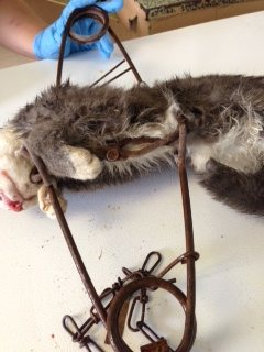 Feral cat trapped and crushed