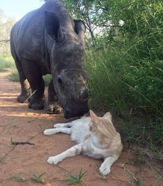 Rhino is best friends with cat