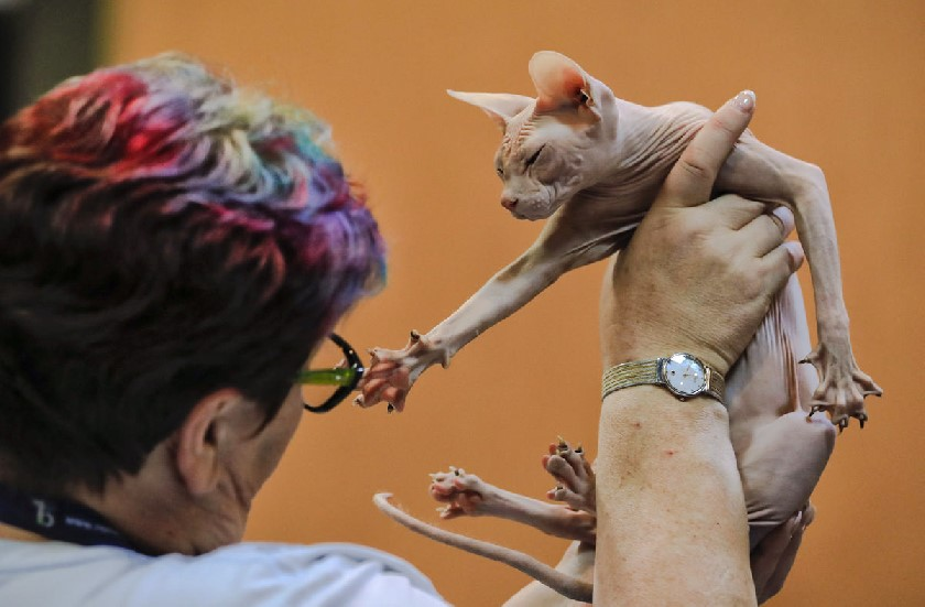 Sphynx cat being checked over by a judge at Romanian cat show