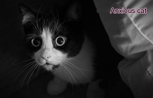 Anxious Cat