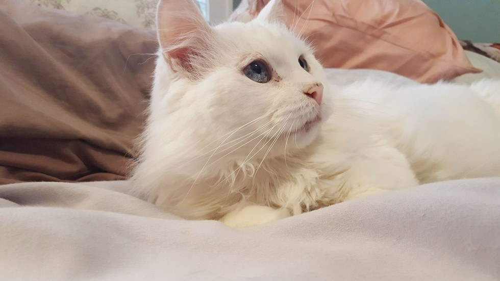 Blind and deaf white stray cat who was rescued and rehabilitated
